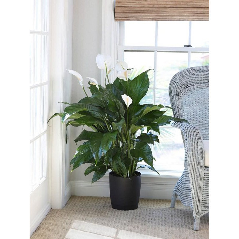 peace lilies home living room window best indoor plants