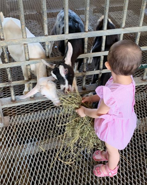 2020 december school holidays kids free activities hay dairies farm visit toddler feeding goat